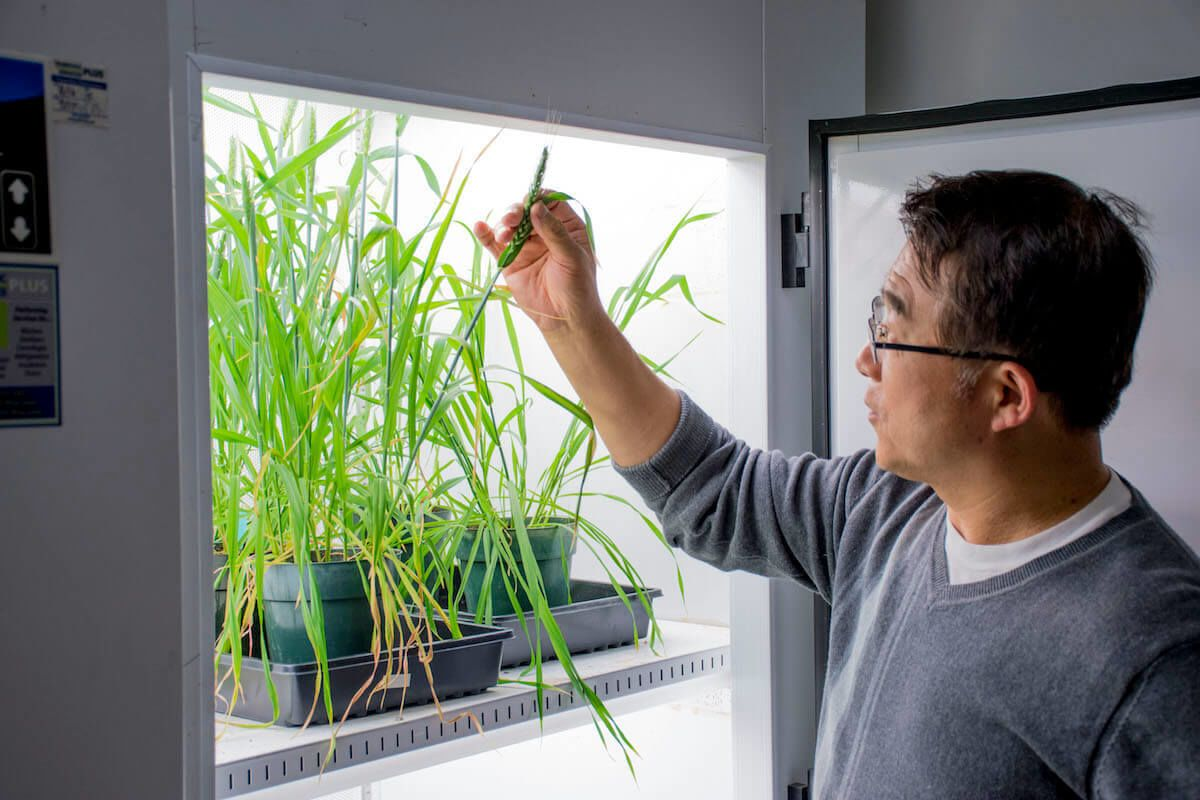Myeong-Je Cho, the director of plant genomics, monitoring CRISPR-modified green cacao and wheat seedlings in refrigerated greenhouses.